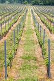 Beautiful rows of grapes Royalty Free Stock Photos