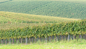 Beautiful rows of grapes in the vineyard Stock Image