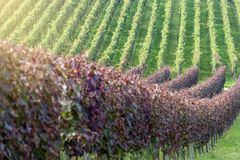 Beautiful rows of grapes in the vineyard Stock Photography