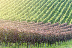 Beautiful rows of grapes in the vineyard Royalty Free Stock Image