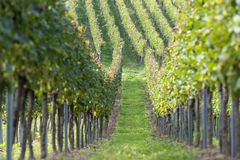 Beautiful rows of grapes in the vineyard Stock Images