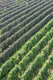 Beautiful rows of grapes in the vineyard Royalty Free Stock Images