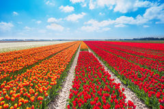 Beautiful rows of red and orange tulip field Royalty Free Stock Image