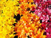 Beautiful rows with yellow, orange and dark pink lili Stock Photo