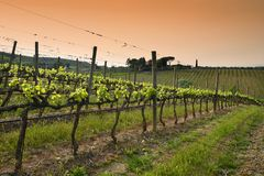 Beautiful rows of young green vineyards near Mercatale Val di Pesa Florence in spring season at sunset. Tuscany royalty free stock photography