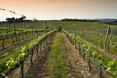 Beautiful rows of young green vineyards near Mercatale Val di Pesa Florence in spring season at sunset. Tuscany royalty free stock photos
