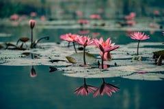 Waterlillies adorn the water in vietnam. Beautiful Royalty free stock photo. waterlillies adorn the water in vietnam stock images