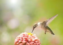 Beautiful Ruby-throated Hummingbird stock photo