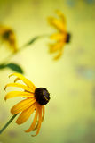 Beautiful Rudbeckia flowers royalty free stock photo