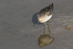 A beautiful Ruff, reeve, Philomachus pugnax, hunting for food along the shoreline, its reflection showing in the water. Stock Image
