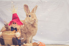 Beautiful Rufus colored rabbit sits upright next to autumn scarecrow decoration with simple background Royalty Free Stock Images