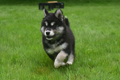 Beautiful Running Alusky Puppy Dog at Full Speed Stock Photography