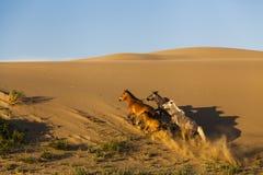 Beautiful running horses in the Gobi Desert. Stock Image