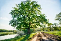 Beautiful rural landscape, a country road and a huge green tree, big age-old oak. Countryside scene royalty free stock images