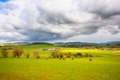 Beautiful rural landscape with grazing cows Royalty Free Stock Photos