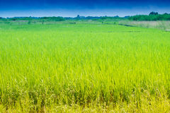 Beautiful rural landscape of Paddy field Royalty Free Stock Photography