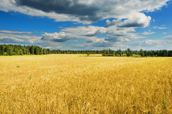 Beautiful rural landscape with wheat field and clouds in the sky Stock Images