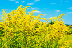 Yellow flowers field. Beautiful rural landscape with yellow flowers field with bright blue sky on background Royalty Free Stock Images