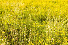Yellow flowers field. Beautiful rural landscape with yellow flowers field Royalty Free Stock Photos