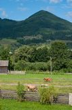 Beautiful rural mountain landscape with cows and fence stock image