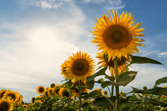 Evening sunflowers in the field Stock Photos