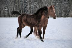 Two horses wearing winter coats playing in snow covered paddock royalty free stock photos