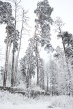 Rural winter landscape with forest and snow Stock Photography