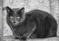 Beautiful  Russian blue cat sitting on a chair. Russian blue cat sitting on a chair Royalty Free Stock Photos