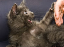 A beautiful Russian blue kitten meowing. While playing Stock Photos