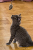 A beautiful Russian blue kitten playing with a toy mouse. Indoors Stock Images