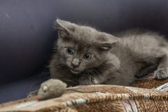 A beautiful Russian blue kitten playing with a toy mouse. Indoors Royalty Free Stock Photography