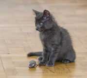A beautiful Russian blue kitten playing with a toy mouse. Indoors Stock Photography