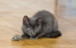 A beautiful Russian blue kitten playing with a toy mouse. Indoors Royalty Free Stock Images
