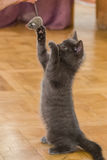 A beautiful Russian blue kitten playing with a toy mouse. Indoors Stock Image