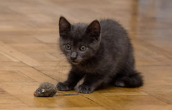 A beautiful Russian blue kitten playing with a toy mouse. Indoors Stock Photo