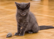 A beautiful Russian blue kitten playing with a toy mouse. Indoors Royalty Free Stock Image