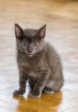 A beautiful Russian blue kitten with a tongue out. A beautiful Russian blue kitten with a tongue sticking out Royalty Free Stock Image