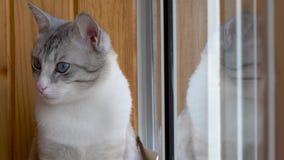 Beautiful russian european cat sitting on the windowsill.