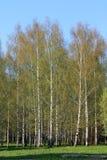 Beautiful Russian white birches № 2. stock image