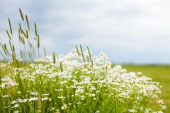 Rustic Nature Summer flower Background. Beautiful rustic Nature Summer flower Background with selective focus. Landscape with flowering daisies. White chamomile Royalty Free Stock Photography