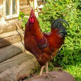 Beautiful rustic rooster on the background of the oldon the background of an old village house royalty free stock image