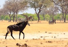 Beautiful Sable Antelope with oxpeckers on his back with zebra in the background in Hwange National Park royalty free stock photography