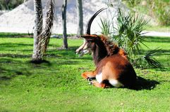 Beautiful sable antelope resting Royalty Free Stock Photo