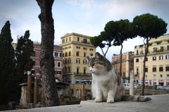 A beautiful sad cat starring his own territory. An old sad but beautiful cat is sitting and watching ancient ruins in Rome at Largo di Argentina Royalty Free Stock Photo