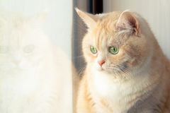 Beautiful sad creamy tabby cat sitting near the window royalty free stock photos