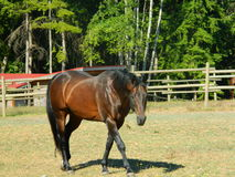 Beautiful sad eyed horse. Beautiful stallion walking through a meadow stock images