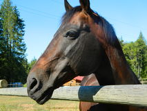 Beautiful sad eyed horse. Beautiful horse standing against a rail fence waiting for a carrot stock photos