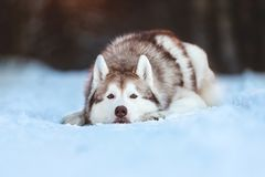 Beautiful, sad and free Siberian Husky dog lying on the snow path in the mysterious winter forest at sunset. Close-up Portrait of beautiful, sad and free royalty free stock photography