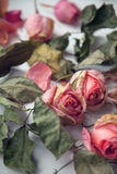 Beautiful sad tender depression dried dead pink roses flowers and leaves vintage background Stock Image