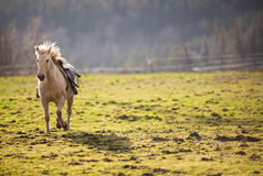 Beautiful, saddled horse Royalty Free Stock Photography